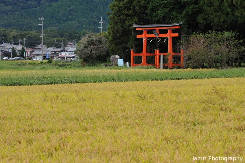 Tsuno Shrine Gate Across a Golden Field.