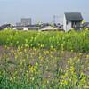 Nanohana by the River.<br /> Note Film Shot: Mamiya RB67 + Mamiya-Sekor 90mm f/3.8 lens + Fujicolor PRO400
