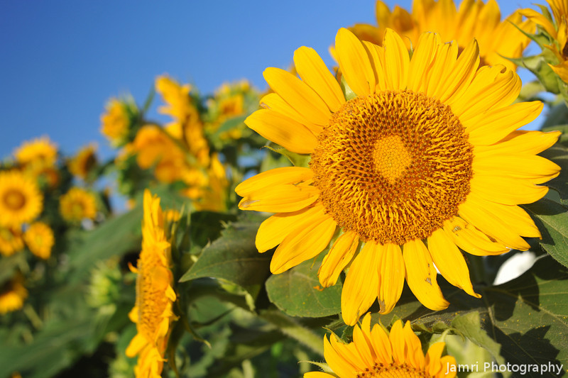 A Whole lot of Sunflowers.<br /> Note: Circular Polarising Filter Used.