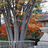 Autumn Colours by the Big Lantern.<br /> At Nagaoka Tenmangu Shrine in Nagaokakyo.