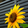 Himawari (Sunflower)<br /> The flower of the season.
