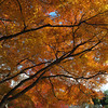Big Autumn Canopy.<br /> In Arashiyama, Kyoto.
