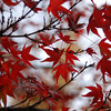 The First of the Momiji (Japanese Maples)<br /> While at the Kyoto Imperial Palace Park, I saw my first Momiji in colour change for the season.