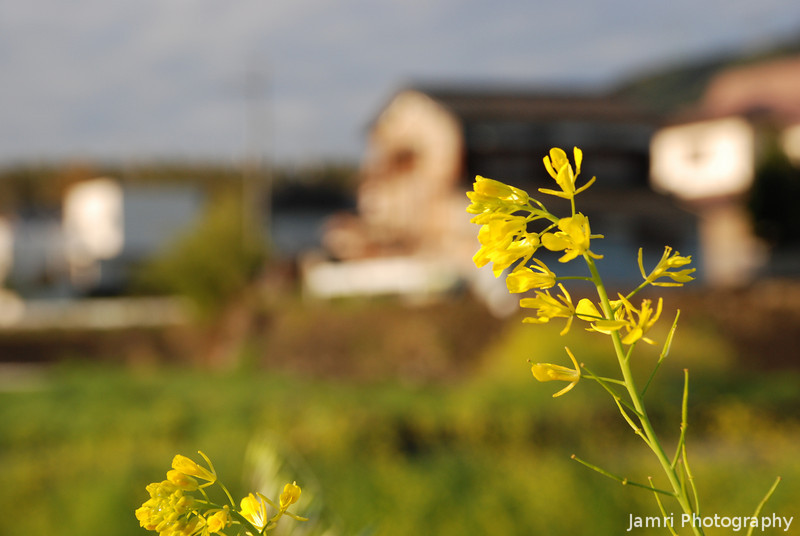 Nanohana Up Close.<br /> Nanohana (Rapeseed) flowers are everywhere in Japan during the early spring.