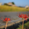 The flowers of the departing spirits.<br /> These red flowers are traditionally believed in Japan to represent the spirits of people who died during the year departing to the afterlife. These flowers come up around the time of the rice harvest and they're poisonous.