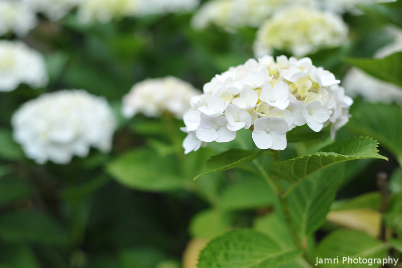 Close up to some white Hydrangeas.