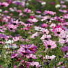 Cosmos Dancing in the Sunlight.