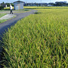 Walking through the rice fields.