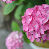 Up Close to the Hot Pink Hydrangea.