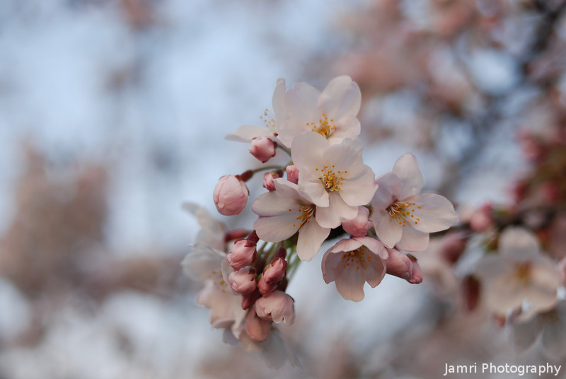 Sakura in the Evening.<br /> It's in the evening or morning light that the subtle pink colour is picked up best by the camera.
