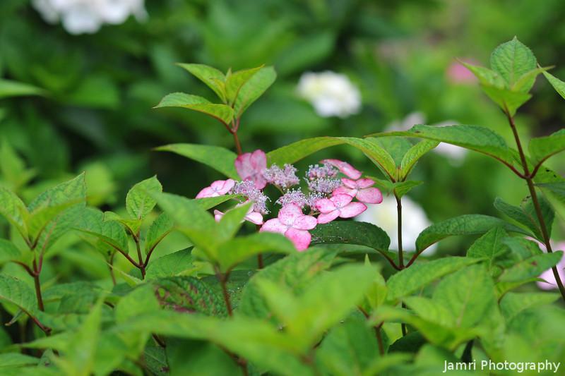 A Spotted Pink Specimen.
