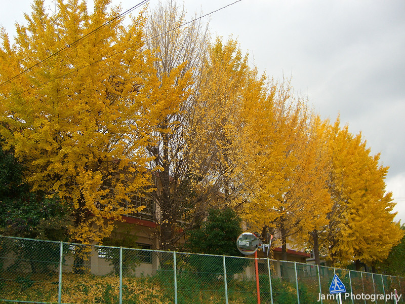 Ichou (Ginkgo)<br /> Some Ichou displaying their yellow autumn colour at the local primary school.