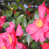 Hot Pink Camellias on Azalea street!