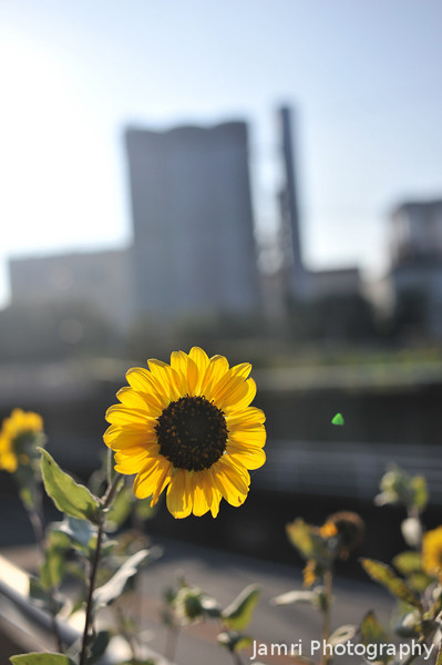 Late Sunflowers.<br /> Looking towards the Suntory Brewery along Suntory Dori.