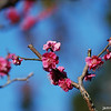 Deep pink.<br /> Ume (Plum) Blossoms.