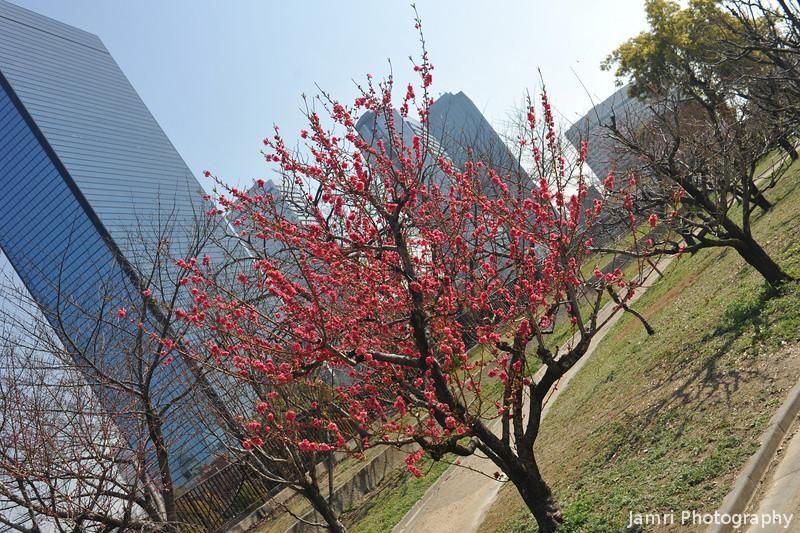 Peach Tree and Osaka Business Park in the Background.<br /> At Osaka Castle Park (Osaka-jo Koen).