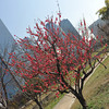 Peach Tree and Osaka Business Park in the Background.<br /> At Osaka Castle Park (Osaka-jo Koen).