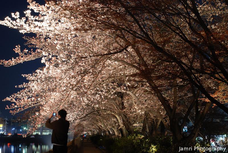 Sakura Light Up.<br /> At Nagaoka Tenmangu Shrine Park.