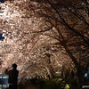 Sakura Light Up.<br /> At Nagaoka Tenmangu Shrine Park.