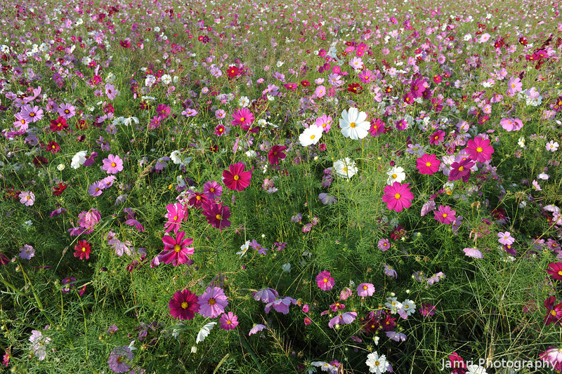 A field of Cosmos.<br /> Yep, it's that time of the year again, when my favourite field flowers are in bloom.