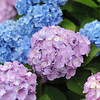 Focusing on the Purple.<br /> In the big hydrangea bush along the road.