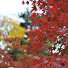 Red Maples with Yellow Ginkgo in the Background.