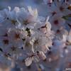 Softly lit Sakura.