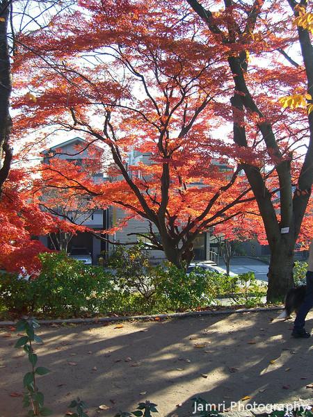Under the Maple Trees<br /> At Nagaoka Tenmangu Shrine Park while I was going on a hike with the Nagaokakyo Hiking Club.