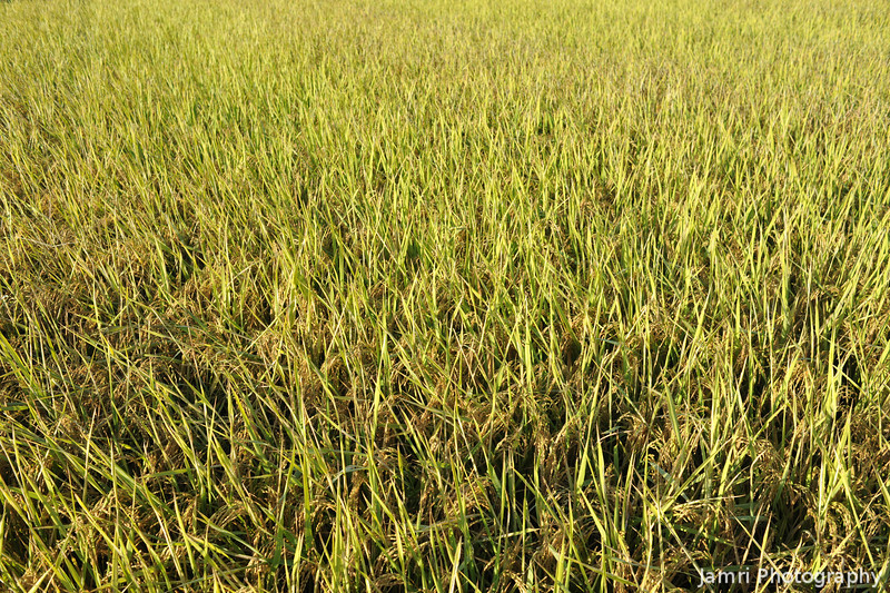 Golden Harvest.<br /> Rice ready for the harvest in morning light.