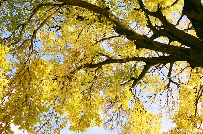Looking up at the Yellow Foliage.<br /> Note: Film Shot, Nikon F80 + 24f/2.8mm + Fujicolor Reala ACE 100.