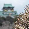 A bloom in front of a castle.<br /> Ume (Plum) blossoms at Osaka Castle.