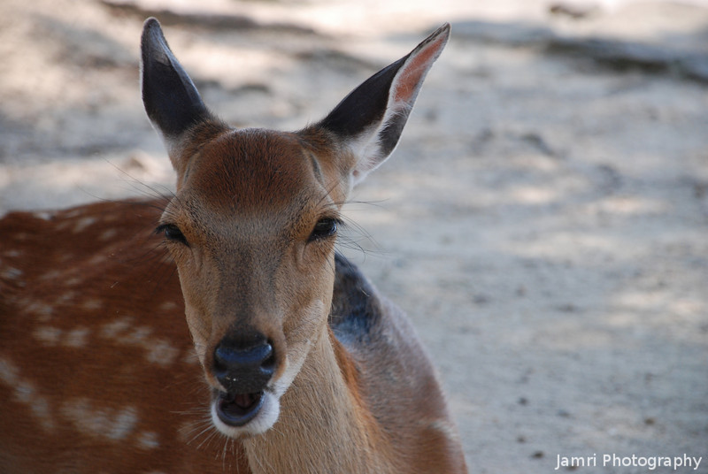 Oh Deer!<br /> Plenty of these guys to see on Miyajima, slightly less annoying than the ones in Nara!