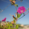Pink Morning Glory at f/2.8