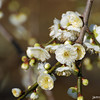 Fountain like Blooms.<br /> Ume (Plum) Blossoms.