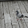 Pigeon on the Walkway.<br /> At Nagaoka Tenmangu Shrine Park, Nagaokakyo, Japan.