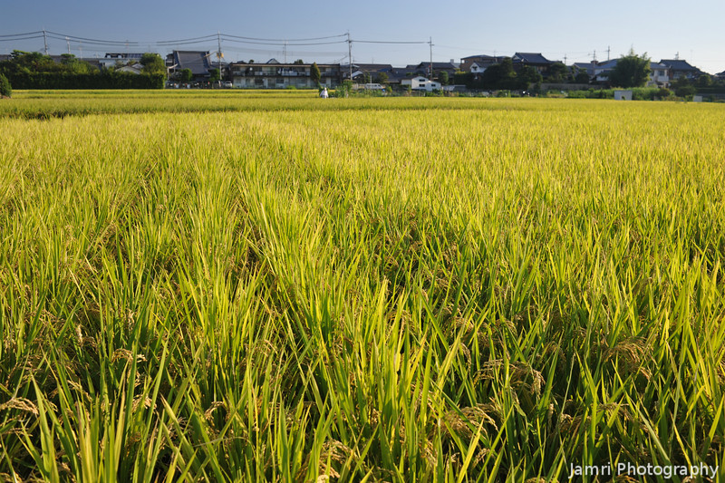 Across Golden Fields.<br /> Rice coming up towards harvest time.