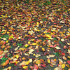 Autumn Carpet.<br /> Mostly Sakura Leaves.
