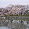 Sakura Reflections.<br /> This is the shot I was lining up.<br /> Note Film Shot: Nikon F80 + Nikkor AF 50 f/1.8 + Fujicolor PRO400