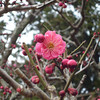 Pink Ume in the Centre.<br /> Photo by Ritsuko.