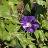 Purple Morning Glory in Amongst Green.