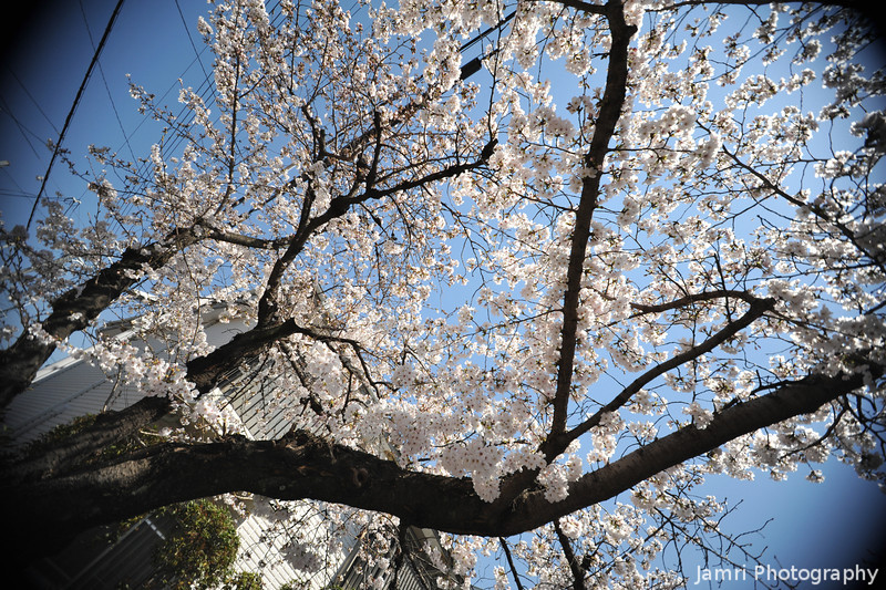 Protruding Branches of a Sakura.<br /> Shot with a Sigma 10-20 (crop lens) on a Full Frame Camera (Nikon D700).