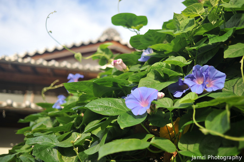 Morning Glory in Front of a Traditional House.