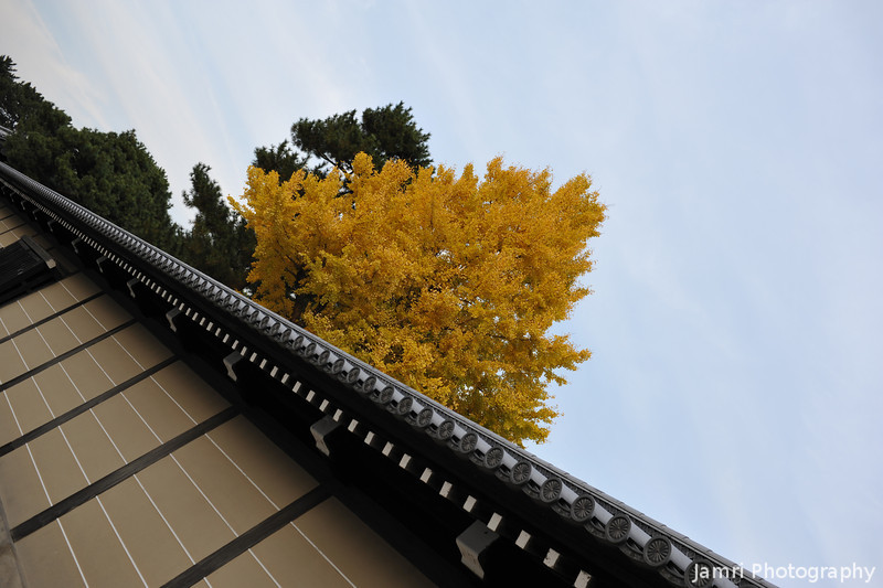 Palace Wall and Ginkgo Tree.<br /> Kyoto Imperial Palace.