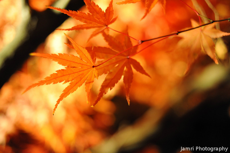 Maple Leaves at Night.