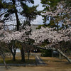 Early bloom.<br /> At Koryu-ji (Koryu Temple) in Uzumasa.<br /> This temple is also connected with the Hata-clan.