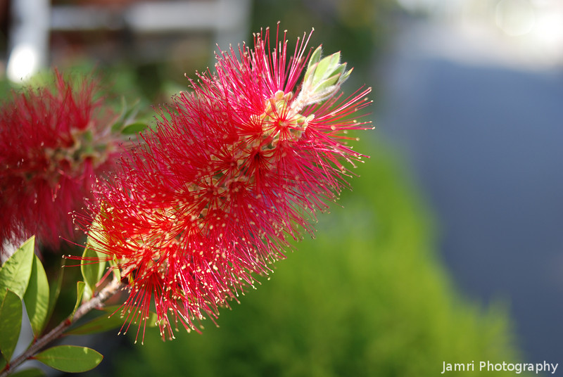 Bottle Brush with Bokeh.<br /> This 35mm f/2 lens produces pretty good bokeh for this kind of shot.