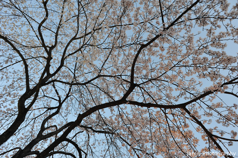 The spreading branches of the Sakura.