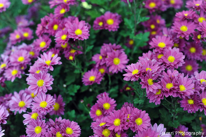 November Colours.<br /> Not only Autumn Leaves, but Chrysanthemums also!