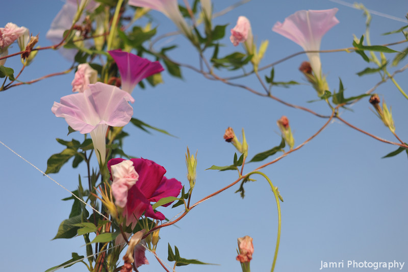 Up Close to Some Morning Glories.<br /> Note: Circular Polarising Filter Used.