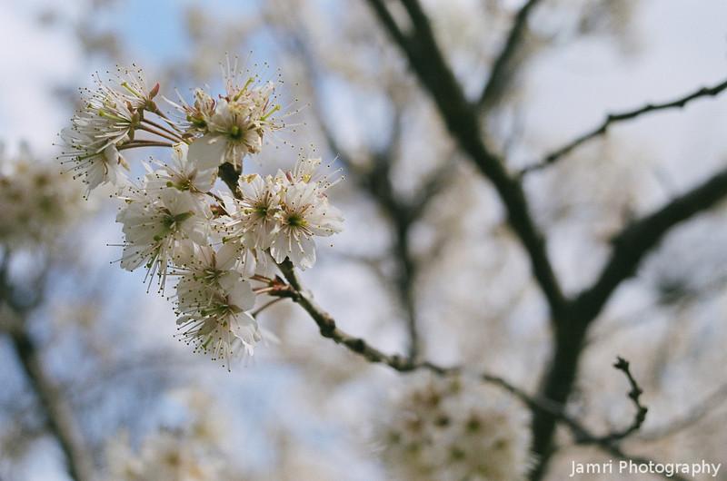 Apricots.<br /> A few apricot blossoms, I came across on my walk to Izumiya.<br /> Note Film Shot: Nikon F80 + Nikkor AF 35 f/2 + Fujicolor PRO400